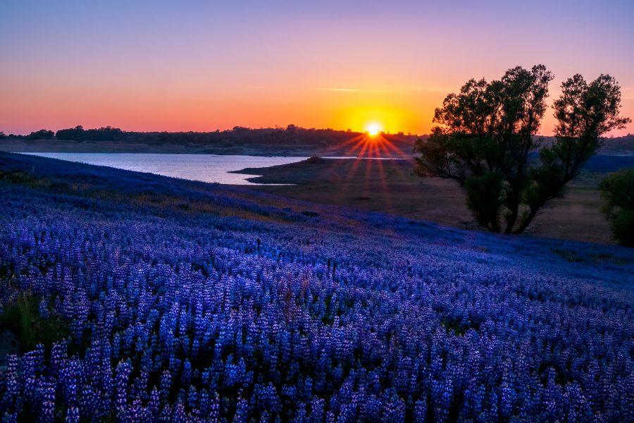 Lupine Sunset on the Folsom Lake Peninsula - Gert Van-Ommering