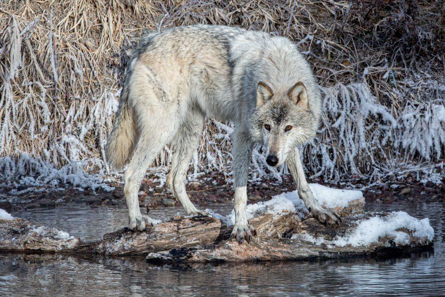 Wolf Watching Something of Interest - Jan Lightfoot