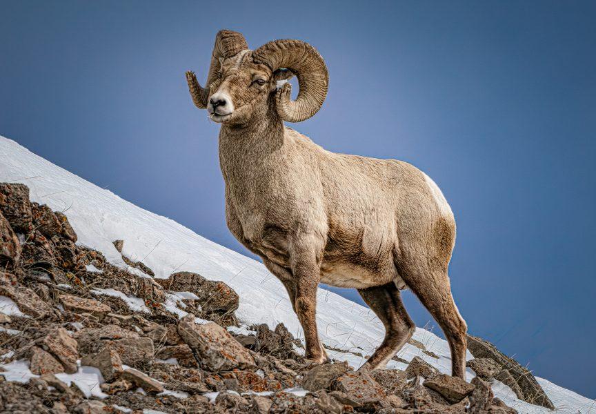 Bighorn Sheep Yellowstone - Don Goldman
