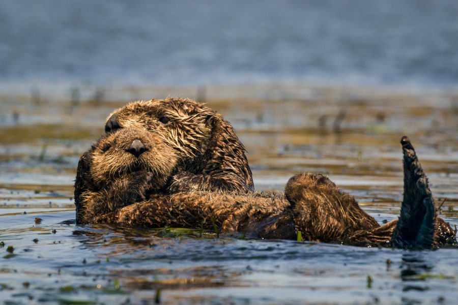 Sea Otter With Pup - Doug Arnold