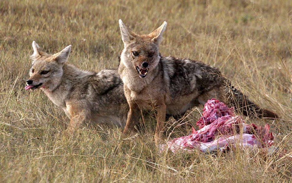 Black Backed jackals & kill - Truman Holtzclaw