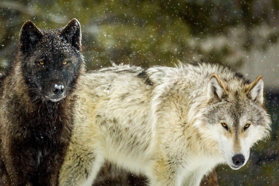 Wolves Cast a Wary Eye - Doug Arnold
