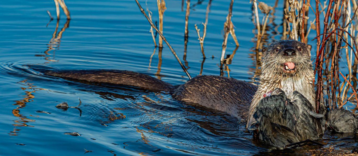 River Otter Eating Coot - Leonard James
