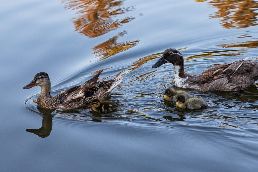 Family of Ducks Out For A Swim - Laura Berard