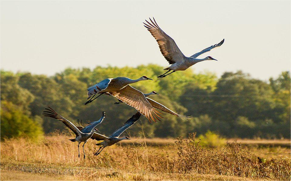Sandhill Cranes Ascending near Desmond Road - Werner Kreuger
