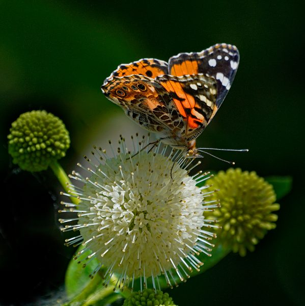 Painted Lady Butterfly Pollenates Buttonbush - Robert Benson