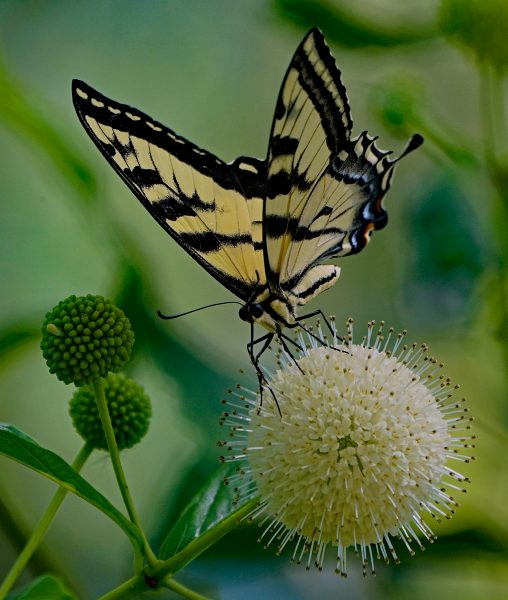 Western Tiger Swallowtail Pollenates Buttonbush - Robert Benson