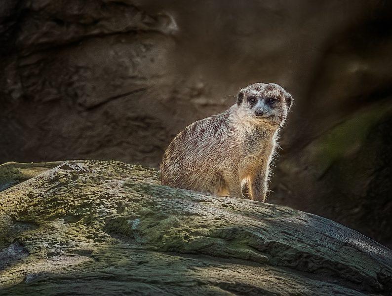 Meerkat in the act - Lucille van Ommering