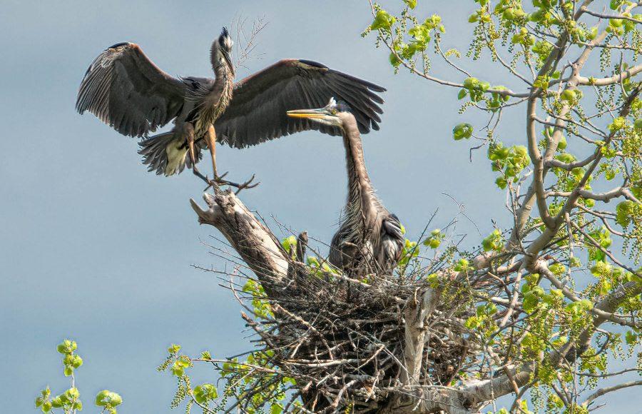 Blue Herons Building Nest - Don Goldman