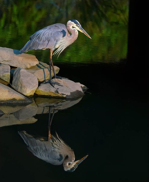 Great Blue Heron and reflection - Truman Holtzclaw