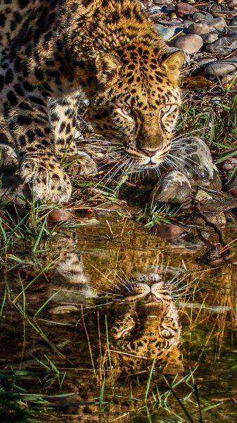 Amur Leopard Reflection - Leonard James