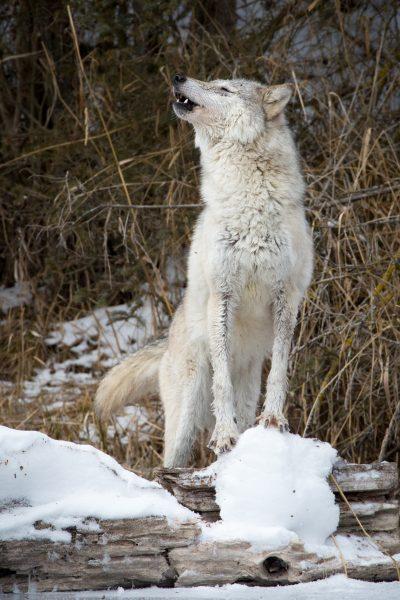 Wolf Howling - Jan Lightfoot