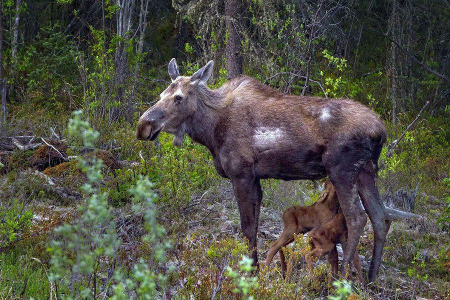 Moose Nursing Two Babies - Truman Holtzclaw