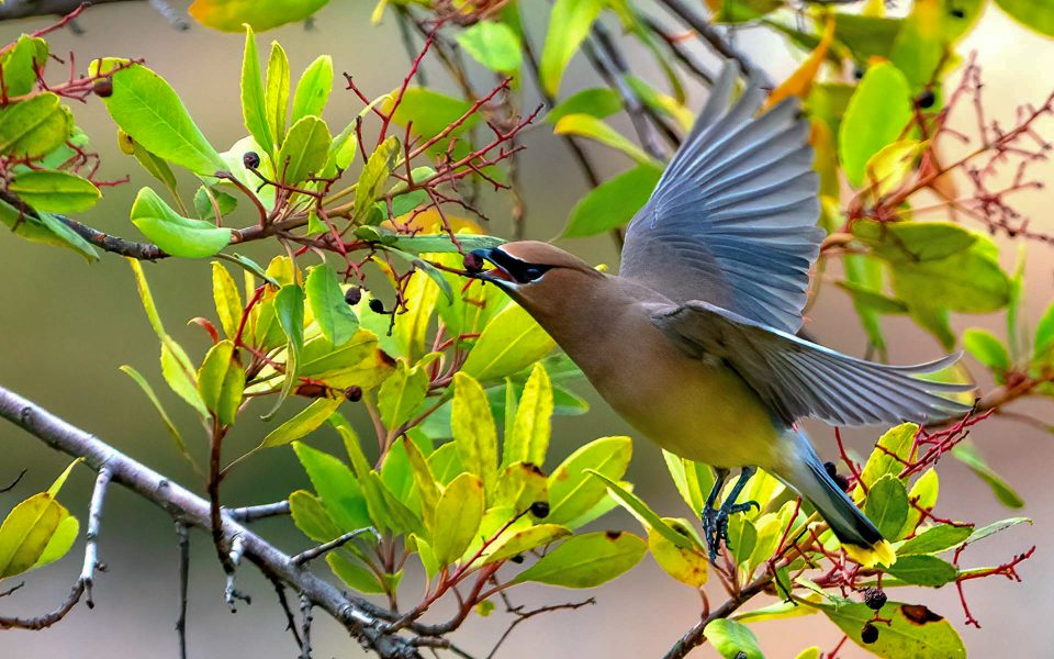 Berry Eating Waxwing - Truman Holtzclaw