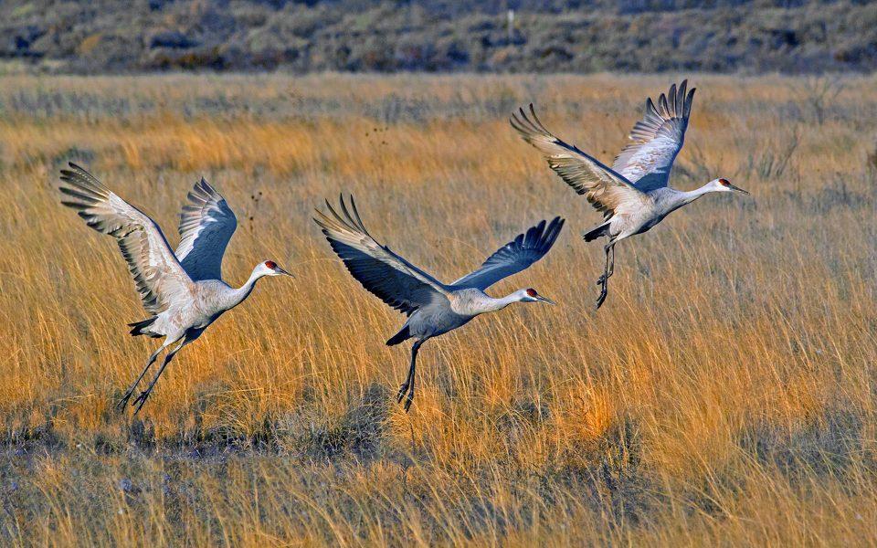 Ascending Sandhill Cranes - Julius Kovatch