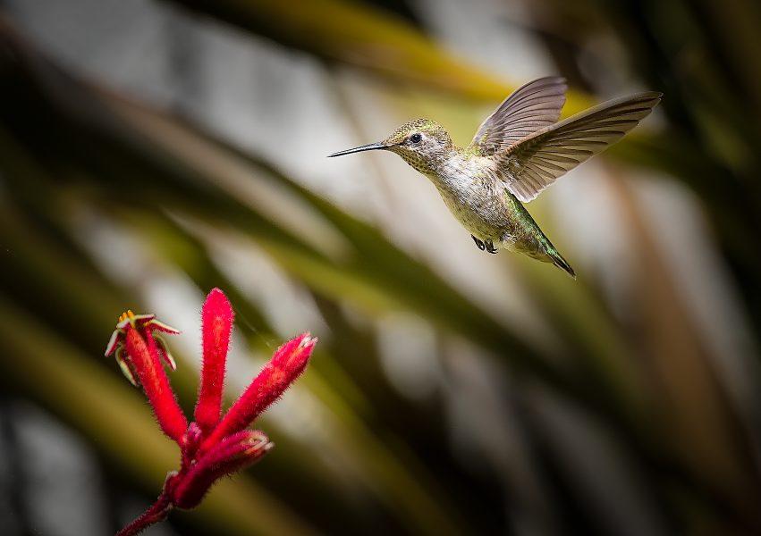Anna's Hummingbird Pauses Before Feeding - Doug Arnold