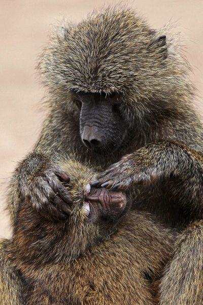 The Daily Ritual of Baboon Grooming - Jan Lightfoot