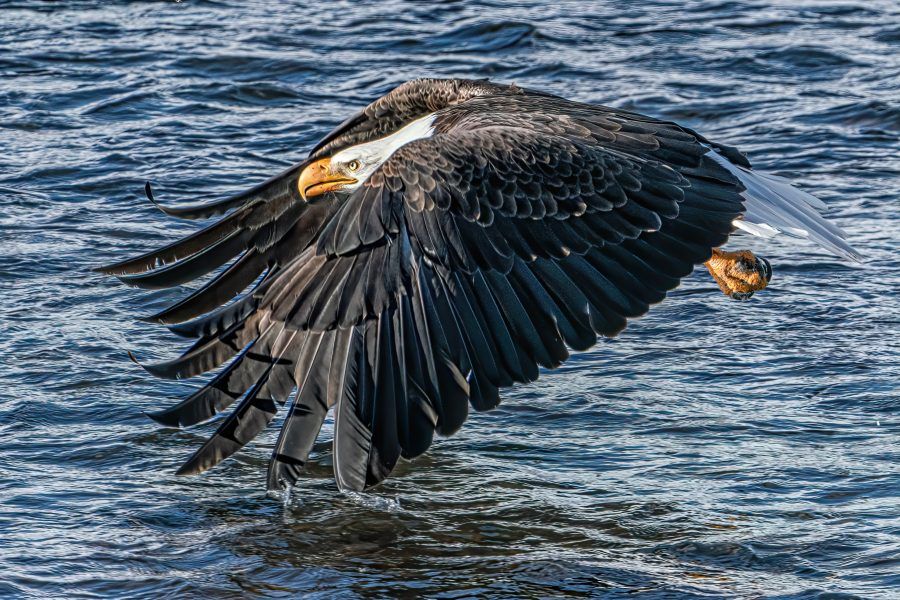 Bald Eagle Dipping Wing - Don Goldman