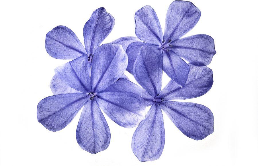 Flower Series # 12 - Joseph Finkleman