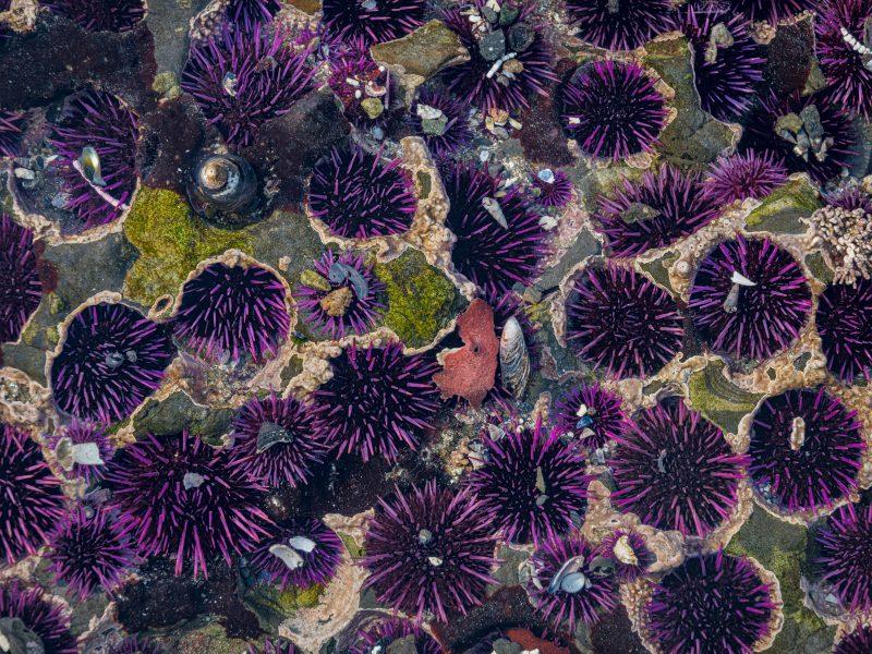 Tide Pool I (Pacific Purple Sea Urchins) - Bob Adler