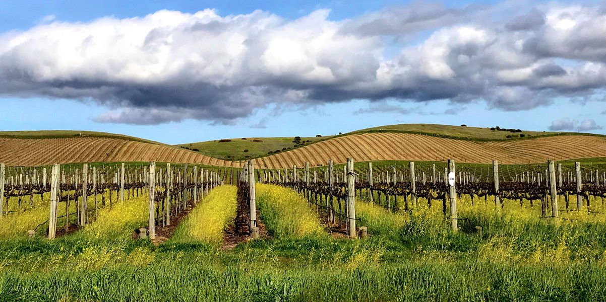 Napa Valley Vineyard - Peggy McCaleb