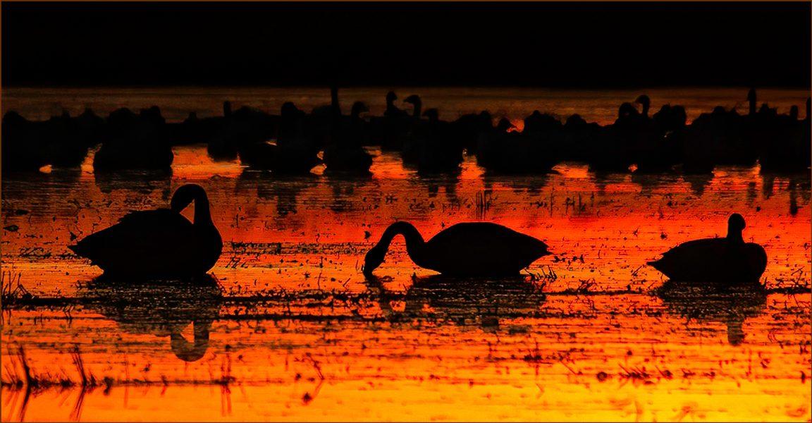 Tundra Swans at Sunset - Donna Sturla