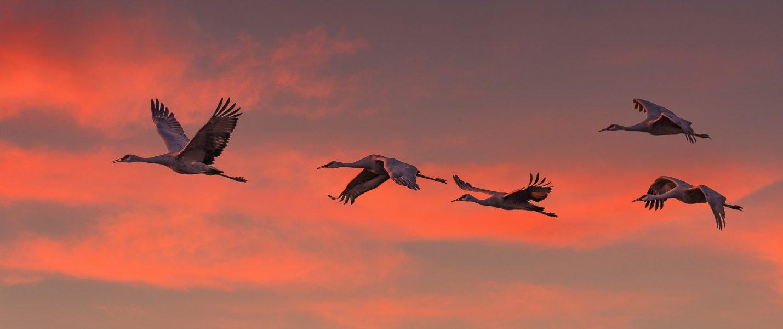 Sandhill Cranes Return to Roost - Doug Arnold