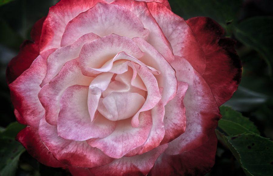 'Hazel Cramer' Rose - Doug Arnold