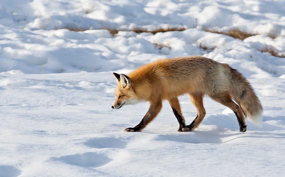 Red Fox Hunting Yellowstone National Park - Doug Arnold