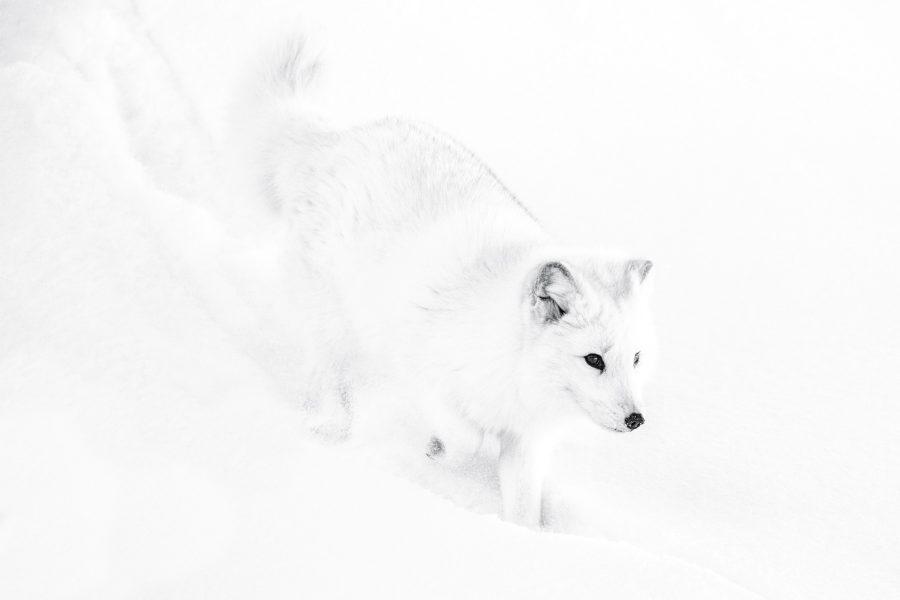 Arctic Fox - Jan Lightfoot