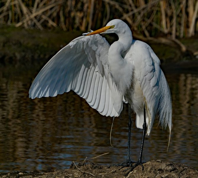 Egret Spreads Wing - Robert Benson