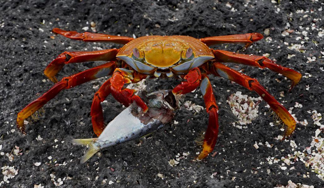 Sally Lightfoot Crab Flesh Flies Enjoy Meal Rich in Omega 3s - Robert Benson