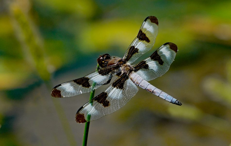 Twelve Spot Dragonfly Watches for Prey - Robert Benson