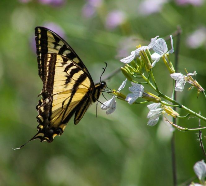 Monarch Butterfly Eating Nectar - Laura Berard