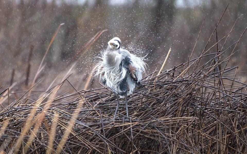 Blue Heron Shaking the Rain - Tod Bice