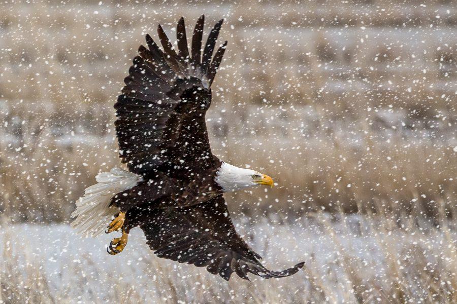 Bald Eagle in Snow Storm - Jan Lightfoot