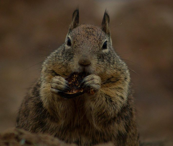 Squirrel Eating A Tasty Snack - Laura Berard