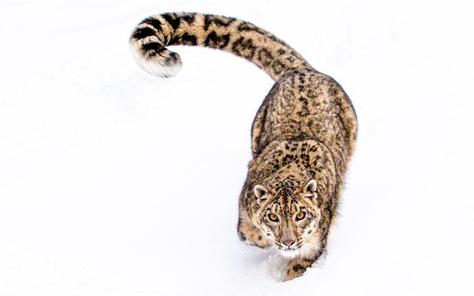 Snow Leopard - Jan Lightfoot