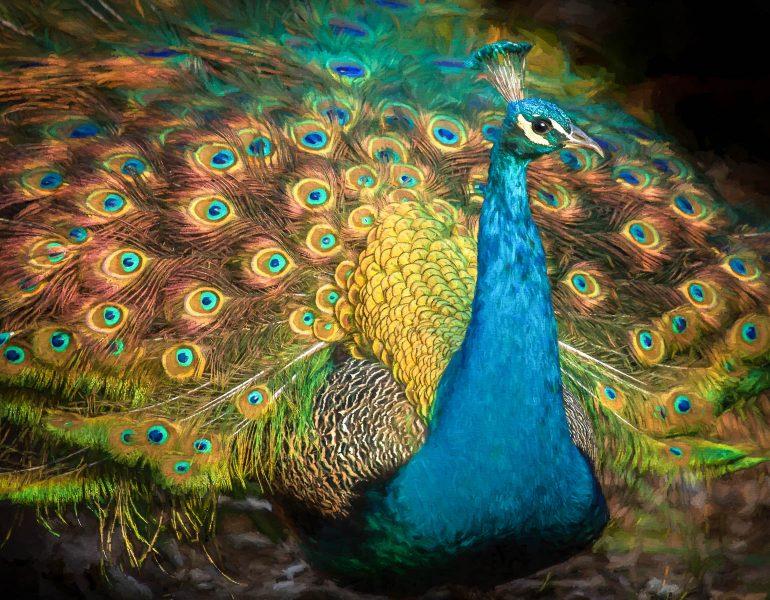 Radiant Peacock - Jim Berger