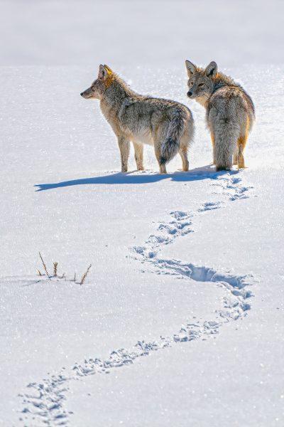 Coyote Trails - Don Goldman
