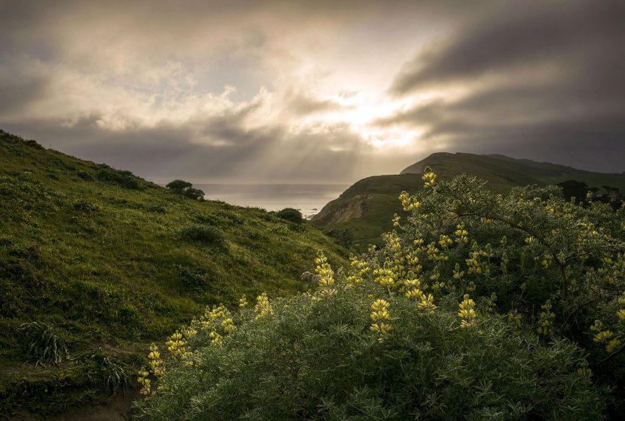 Coast Lupine - Kathleen Grady