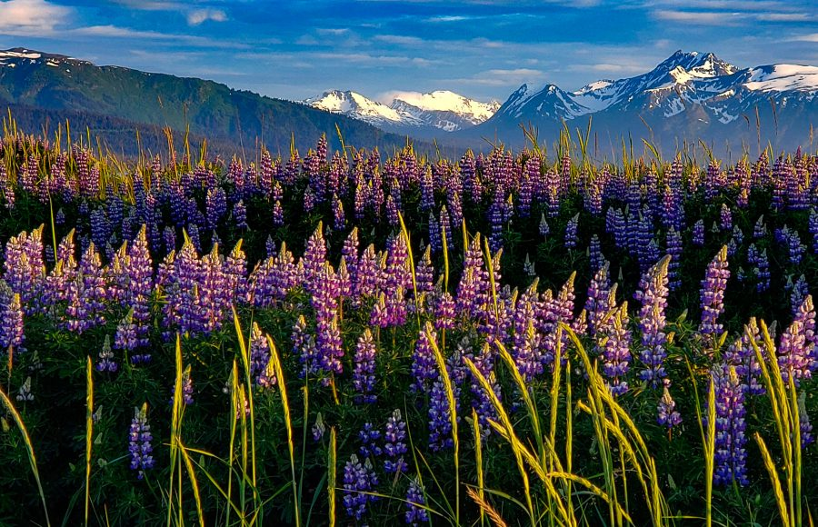 Alaskan Lupine Display - Truman Holtzclaw