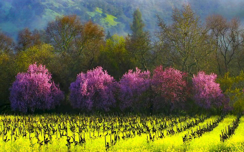 Napa Valley Bloom - Truman Holtzclaw