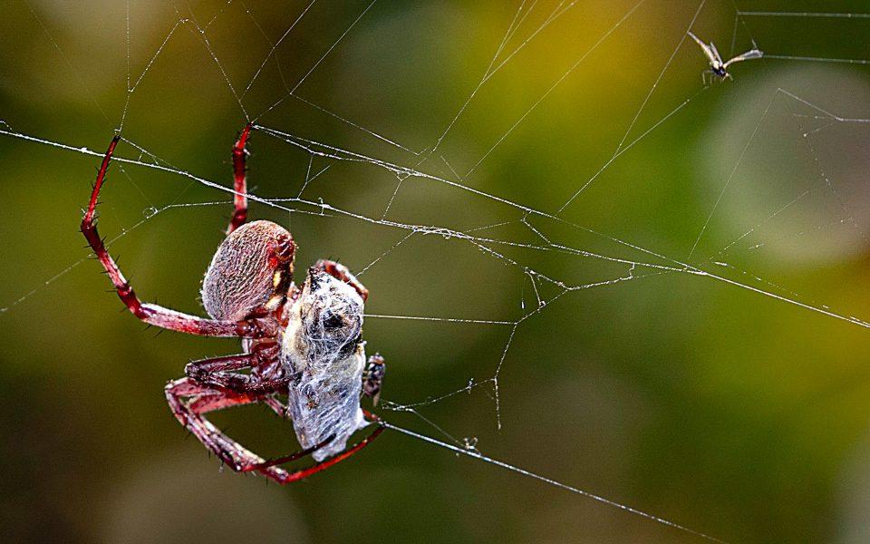 Spider Captures a Bee - Truman Holtzclaw