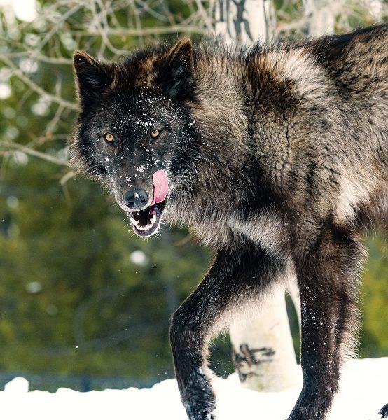 Black Wolf in Snow - Pat Honeycutt