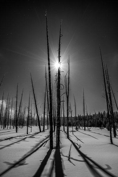 Dead Lodgepole Pines Yellowstone - Pat Honeycutt