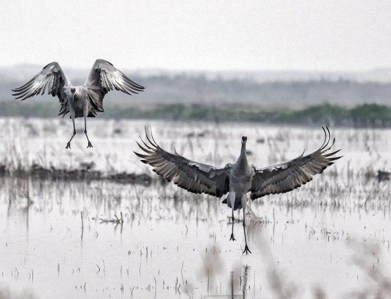 Two cranes landing - Pat Honeycutt