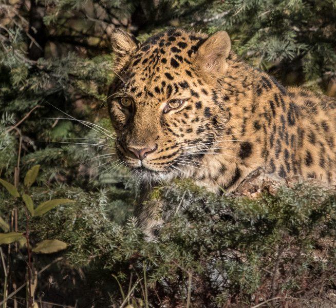 Amur Leopard - Leonard James
