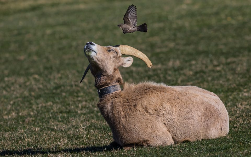 Phoebe Pestering Bighorn Sheep - Leonard James
