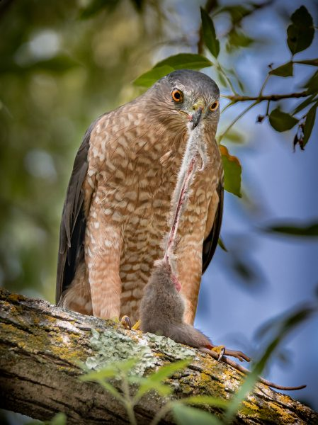 Coopers Hawk Having Lunch - Joey Johnson